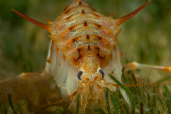 foto-taucher-unterwasserfotografie-baikalsee-gammarus-37BBCF853-E1FF-E222-335D-3B546139EB48.jpg