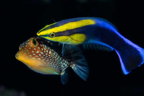 12-foto-taucher-unterwasserfotografie-hawaii-kona-endemisch-putzerfisch45543699-2F59-B30E-3067-519F4F571845.jpg