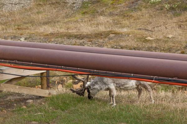 04-foto-taucher-fotografie-arktis-svalbard-longyearbyen-rentierF22B7DCD-6CD0-AFE3-53A3-94B632CAFBCF.jpg
