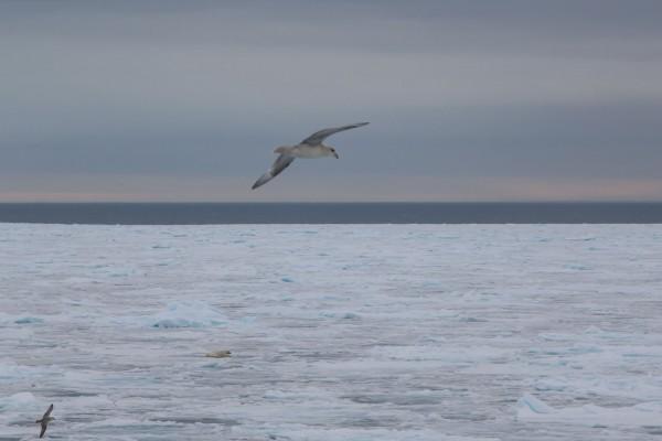 21-foto-taucher-fotografie-arktis-svalbard-packeis-eisbaerF9981F70-3D14-147C-E53F-703F97F76774.jpg