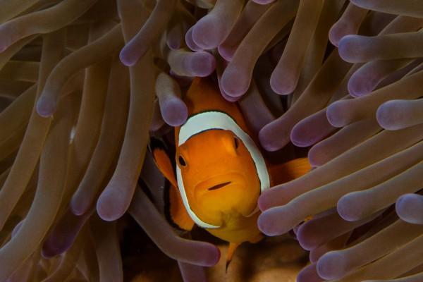 foto-taucher-unterwasserfotografie-indonesien-amphiprion42109580-AAF5-4729-B8C4-E450A6953B69.jpg