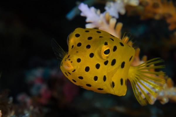 foto-taucher-unterwasserfotografie-indonesien-kofferfisch1B946664-F23A-9896-C09C-207103C2C561.jpg