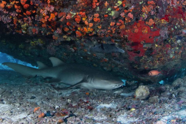 foto-taucher-unterwasserfotografie-seychellen-granitbloeck-ammenhai7ADD1C92-15C4-49D0-0F30-12927774778A.jpg