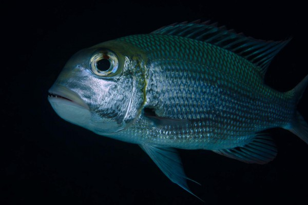 foto-taucher-unterwasserfotografie-aegypten-makrelle12C02C72-1D7D-55DB-5EBB-FEC0343E12A8.jpg